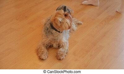 Yorkshire terrier resting on floor