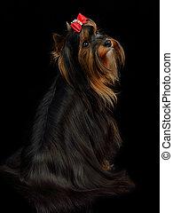 Yorkshire terrier sitting against black background