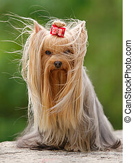 Yorkshire terrier sitting - Blown with the wind. Yorkshire...