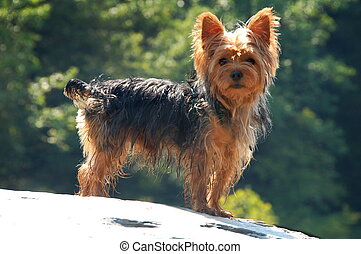 Yorkshire Terrier standing on rock outside