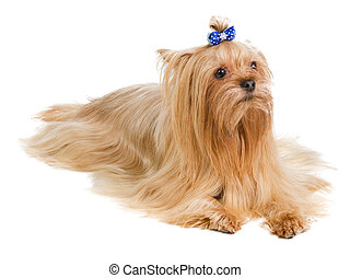 Yorkshire terrier with blue bow on white