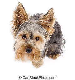 Yorkshire Terrier (9 months) in front of a white background...