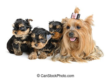 Yorkshire terrier - yorkshire terrier puppy the age of 1...