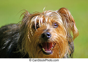 Yorkshire Terrier poses for a quick picture