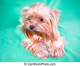 Yorkshire Terrier - Small Dog Yorkshire Terrier on green...