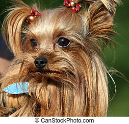 Yorkshire terrier - Portrait of yorkshire close-up