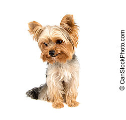 Yorkshire terrier - Portrait of Yorkshire terrier pure breed...
