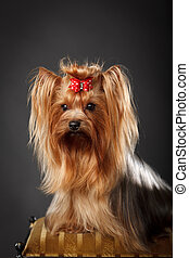 Yorkshire Terrier, tan color, with red hair bow