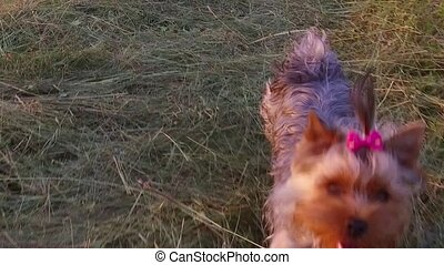 Yorkshire Terrier the dog runs along the grass slow motion...