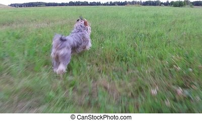 Yorkshire Terrier the dog runs along the grass motion video steadicam shot