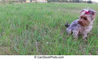 Yorkshire Terrier the pet Dog sitting on the grass steadicam...