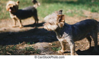 Yorkshire Terrier. Two dogs of breed Yorkshire Terrier