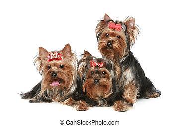 yorkshire terrier, valpar, på, a, vit fond