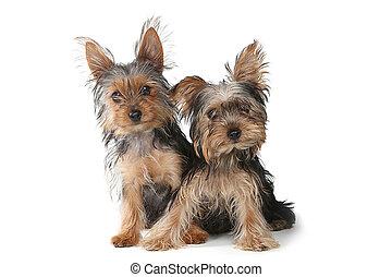 yorkshire terrier, valpar, sittande, vita, bakgrund