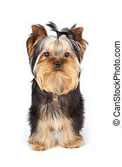 yorkshire terrier, vita