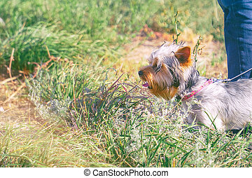 Yorkshire terrier with a collar at the feet of the owner