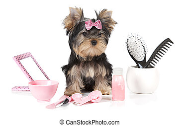 Yorkshire terrier with grooming products isolated on white...