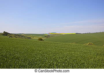 Yorkshire Wolds wheat crops