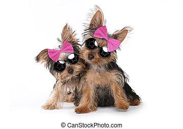 yorkshireterrier, hundebabys, angekleidet, in, rosa