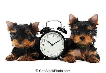 yorkshireterrier, junger hund, hund, mit, wecker