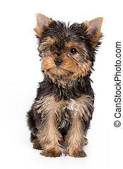 yorkshireterrier, junger hund, (yorkie)