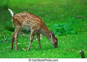Youg deer grazing - A young deer is grazing in a park in ...