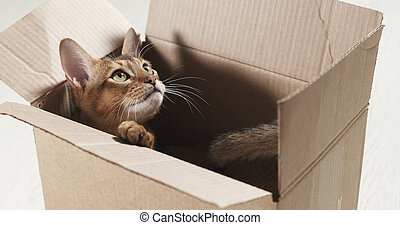 young abyssinian cat sitting in cardboard box