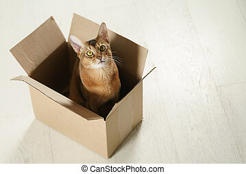 young abyssinian cat sitting in cardboard box on the floor