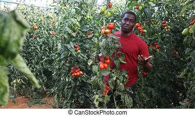 Positive afro male worker gathering harvest of organic plum tomatoes in glasshouse