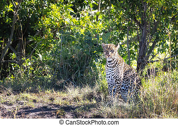 Young adult leopard, Panthera pardus, in the undergrowth of the Masai Mara