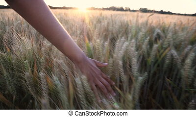 Young adult woman female girls hand feeling the top of a field of barley crop at sunset or sunrise
