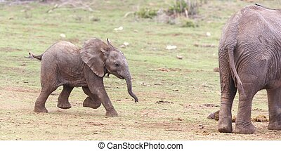 Young African elephant running