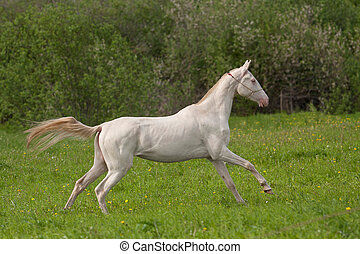 Young Akhal-Teke mare galloping in the meadow