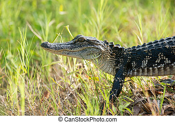 A juvenile American alligator in the weeds in St. Marks National Wildlife Refuge, Florida