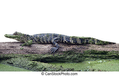 Young alligator on a log