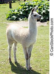 Alpaca - young Alpaca in an enclosure