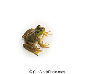Young American Bullfrog looks directly at camera