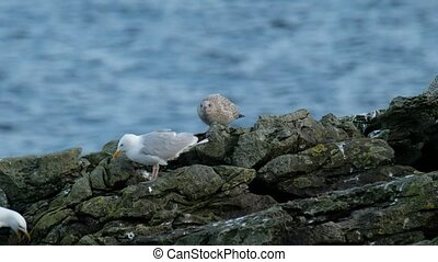 Young and old seagull standing at the irish coast.