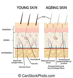 Young and older skin. - Young healthy skin and older skin...
