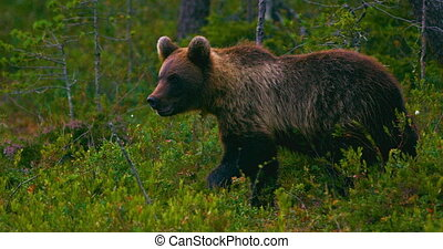 Young and playful brown bear cub running free in a swamp a...