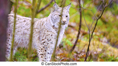 Young and playfull lynx cat standing in the forest