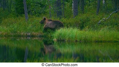 Young and scared brown bear cub running free in a swamp -...