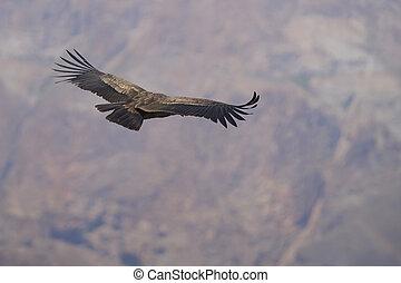 Andean Condor - Young Andean Condor (Condor Vultur gryphus) ...