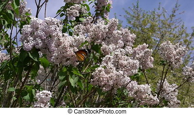 Young Apple tree blossoms blow in the spring wind as bees,...