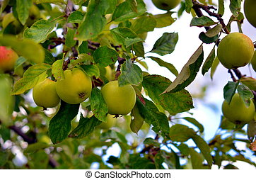 young apples growing on a tree