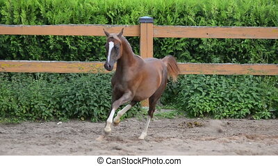 Young arabian filly - Chestnut young arabian filly training...