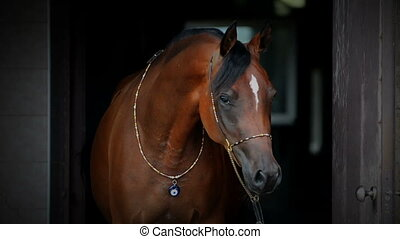 Young arabian mare portrait in show bridle