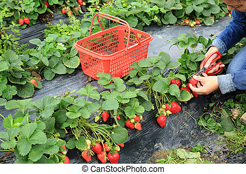 young asian woman picking strawberry in garden