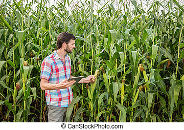 Young attractive man with beard checking corn cobs in field