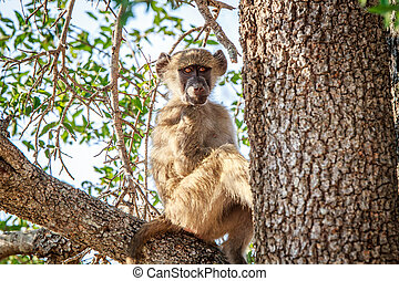 Young Baboon sitting in a tree.